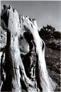 hollow_stump1